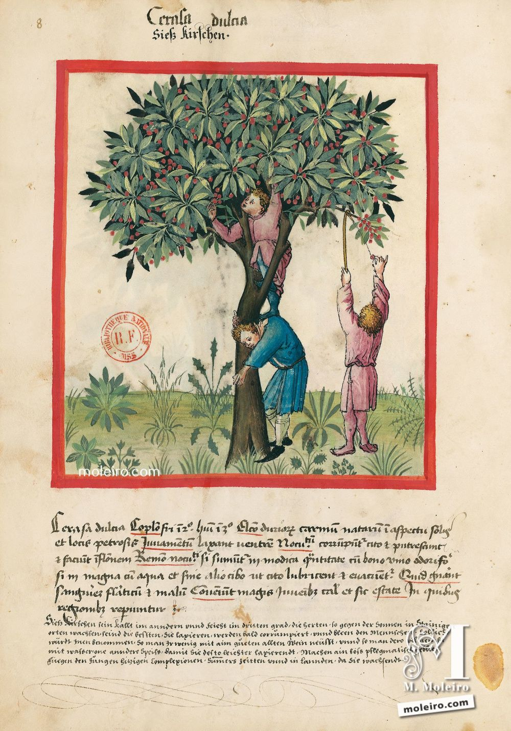 Tacuinum Sanitatis f. 8v, Sweet cherries