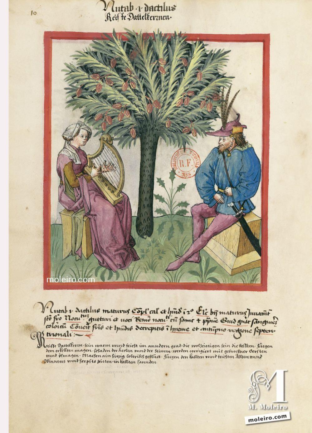 f. 10v, Datteri maturi. Tacuinum Sanitatis, Ms. Lat. 9333. Bibliothèque nationale de France, Parigi.