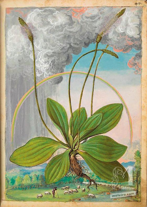 Broadleaf plantain (Plantago maior), f. 50r in Mattioli`s Dioscorides illustrated by Cibo, Add. Ms. 22332, c. 1564-1584.