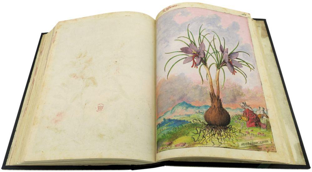 Saffron crocus (Crocus sativus) in Mattioli`s Dioscorides illustrated by Cibo, Add. Ms. 22332, c. 1564-1584.