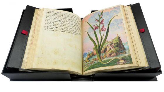 Field gladiolus (Gladiolus Italicus), f. 72r in Mattioli`s Dioscorides illustrated by Cibo, Add. Ms. 22332, c. 1564-1584.