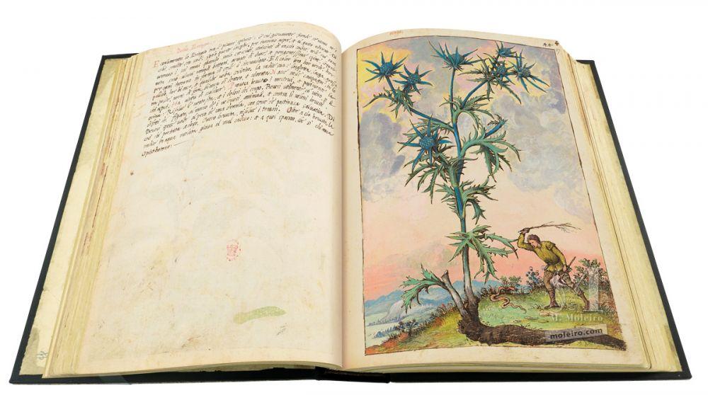 Dioscórides de Cibo y Mattioli Cardo (Eryngium), 46v-47