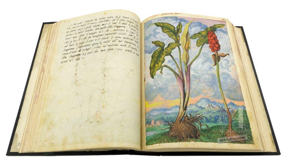 Dioscoride di Cibo e Mattioli Aro (Arum italicum), cc. 52v-53