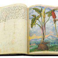 Italian arum (Arum italicum) ff, 52v-53