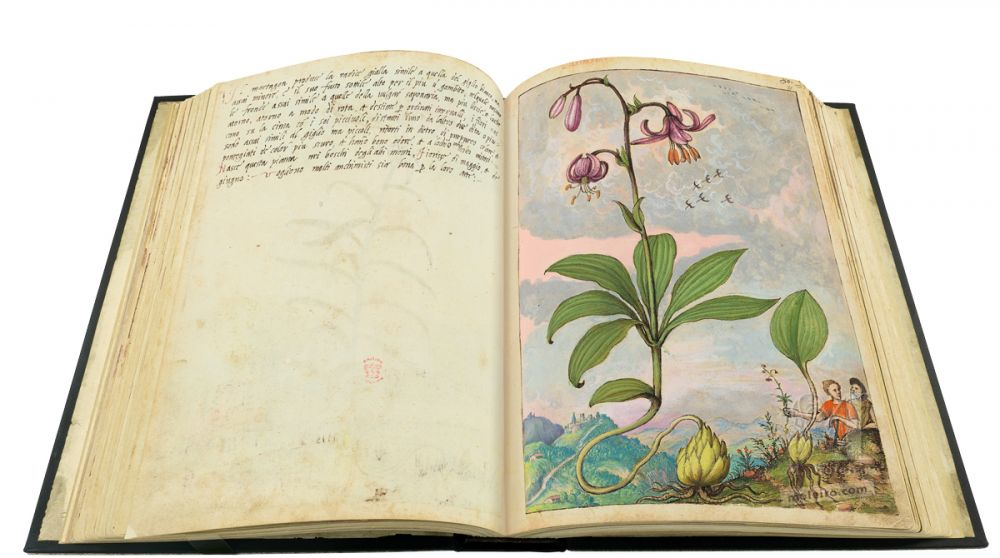 Mattioli's Dioscorides illustrated by Cibo (Discorsi by Mattioli and Cibo) Martagon lily, (Lilium martagon) ff. 80v-81
