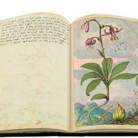 Martagone (Lilium martagon), cc. 80v-81r