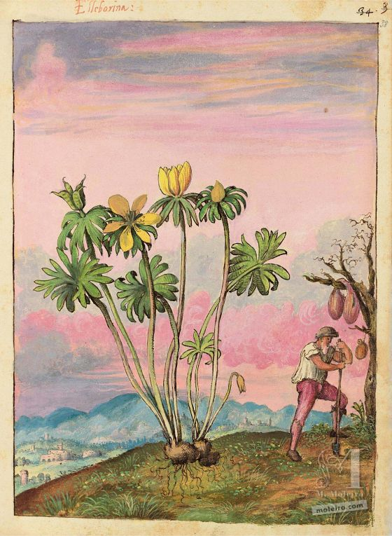 Dioscoride de Cibo et Mattioli Éranthe d'hiver(Eranthis hyemalis), f. 38r