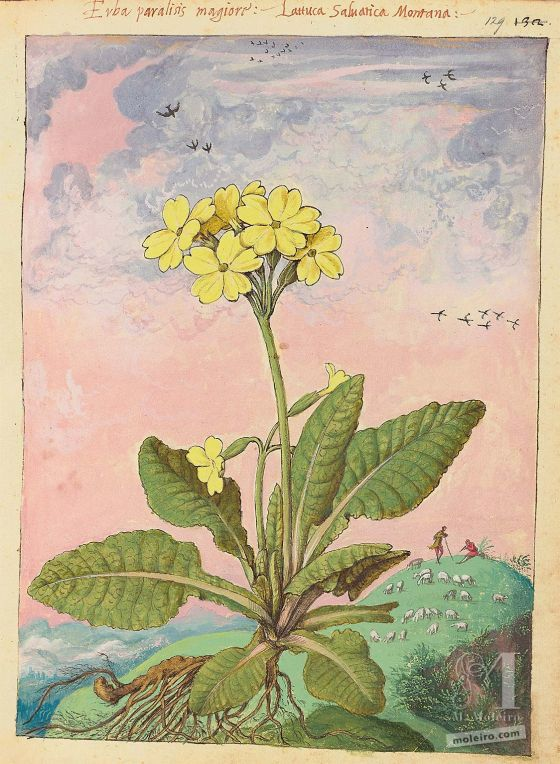 Mattioli's Dioscorides illustrated by Cibo (Discorsi by Mattioli and Cibo) Cowslip (Primula veris), f. 129r