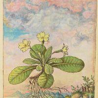 Common primrose (Primula vulgaris), f. 128r