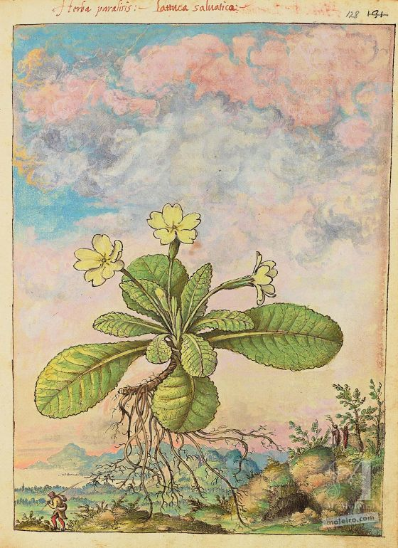 Mattioli's Dioscorides illustrated by Cibo (Discorsi by Mattioli and Cibo) Common primrose (Primula vulgaris), f. 128r