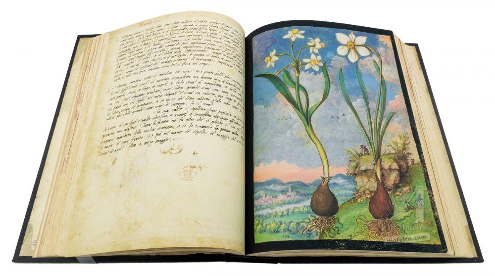 Mattioli'sDioscoridesillustrated by Cibo (Discorsi by Mattioli and Cibo) Bunch-flowered Narcissus, Poet's Narcissus, f. 59r