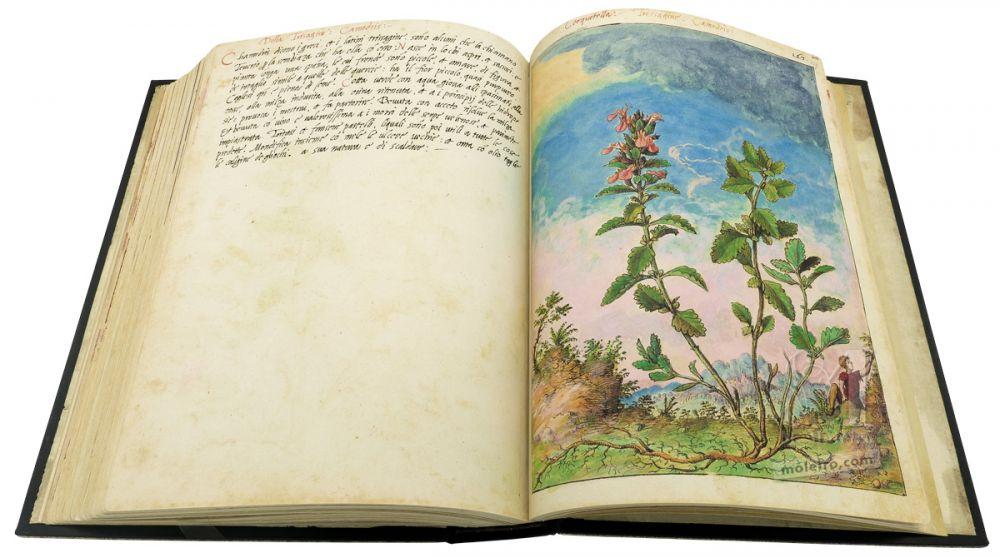 Mattioli'sDioscoridesillustrated by Cibo (Discorsi by Mattioli and Cibo) Wall Germander (Teucrium chamaedrys), f.159r