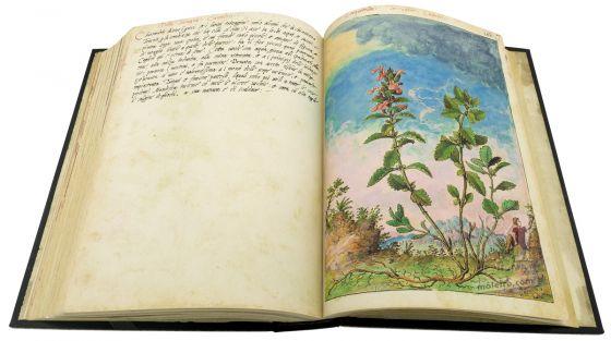 Dioscoride di Cibo e Mattioli Camedrio comune (Teucrium chamaedrys), c. 159r