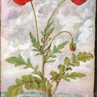 Common Poppy or Red Poppy (Papaver rhoeas), f. 107r