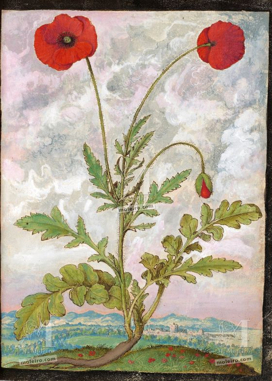 Mattioli's Dioscorides illustrated by Cibo (Discorsi by Mattioli and Cibo) Common Poppy or Red Poppy (Papaver rhoeas L.), f. 107r