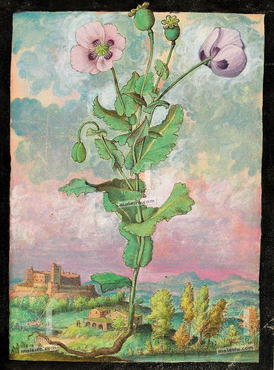 Dioscórides de Cibo y Mattioli Adormidera (Papaver somniferum), f. 108r