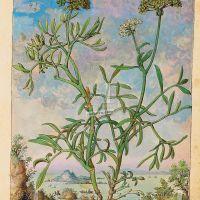 Sea fennel (Crithmum maritimum L.), f. 168r