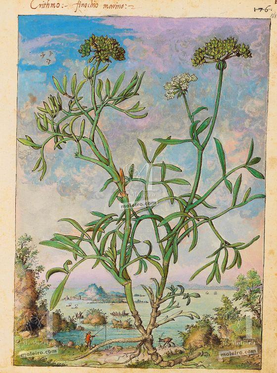 Dioskurides von Cibo und Mattioli Meerfenchel (Crithmum maritimum L.), F. 168r