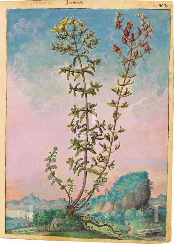 Mattioli'sDioscoridesillustrated by Cibo (Discorsi by Mattioli and Cibo) St John's wort (Hypericum perforatum), f. 83r