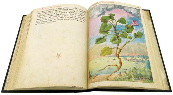 Mattioli'sDioscoridesillustrated by Cibo (Discorsi by Mattioli and Cibo) Sea bindweed (Calystegia soldanella), ff. 149v-150r