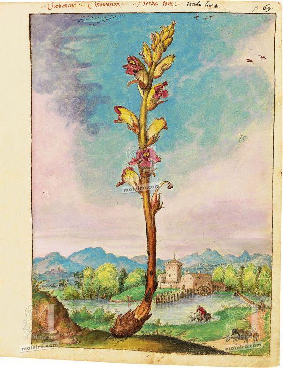 Mattioli'sDioscoridesillustrated by Cibo (Discorsi by Mattioli and Cibo) Thyme broomrape (Orobanche alba Stephan ex Willd.), f. 70r