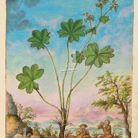 Lady's mantle (Alchemilla vulgaris), f. 122r