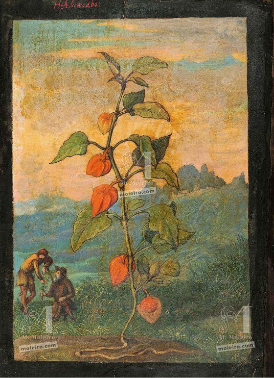 Mattioli'sDioscoridesillustrated by Cibo (Discorsi by Mattioli and Cibo) Bladder cherry(Physalis alkekengi), f. 4r