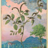 European heliotrope (Heliotropium europaeum),f. 44r
