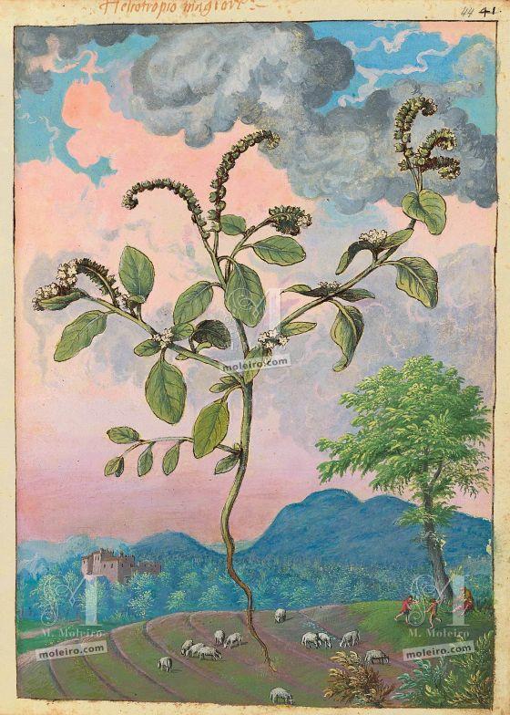 Mattioli'sDioscoridesillustrated by Cibo (Discorsi by Mattioli and Cibo) European heliotrope (Heliotropium europaeum),f. 44r