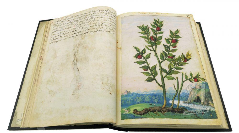 Dioscórides de Cibo e Mattioli Gilbardeira(Ruscus aculeatus), ff. 22v-23r