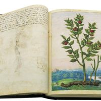 Butcher's-broom (Ruscus aculeatus), ff. 22v-23r