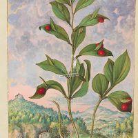 Pungitopo maggiore (Ruscus hypoglossum), c. 135r