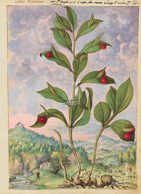 Mattioli'sDioscoridesillustrated by Cibo (Discorsi by Mattioli and Cibo) Spineless butcher's-broom (Ruscus hypoglossum), f. 135r
