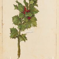 Agrifoglio (Ilex aquifolium), c. 182v