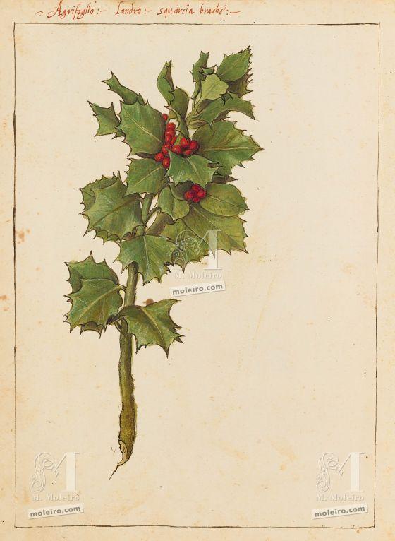 Mattioli'sDioscoridesillustrated by Cibo (Discorsi by Mattioli and Cibo) Holly (Ilex aquifolium), f. 182v