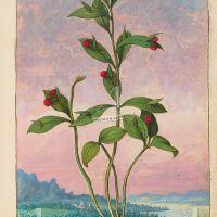 Pungitopo maggiore(Ruscus hypoglossum), c. 24r