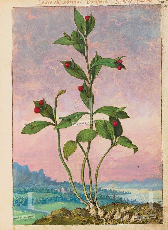 Mattioli'sDioscoridesillustrated by Cibo (Discorsi by Mattioli and Cibo) Spineless butcher's-broom (Ruscus hypoglossum), f. 24r