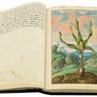 Colchico d'autunno (Colchicum autumnale),ff.20v-21r