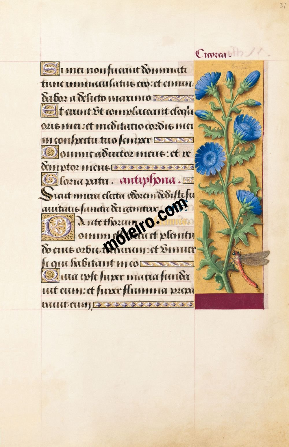Great Hours of Anne of Brittany Chicory, f. 31r