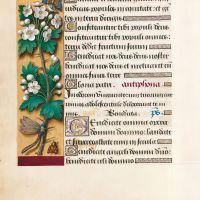 Hawthorn, f. 39v