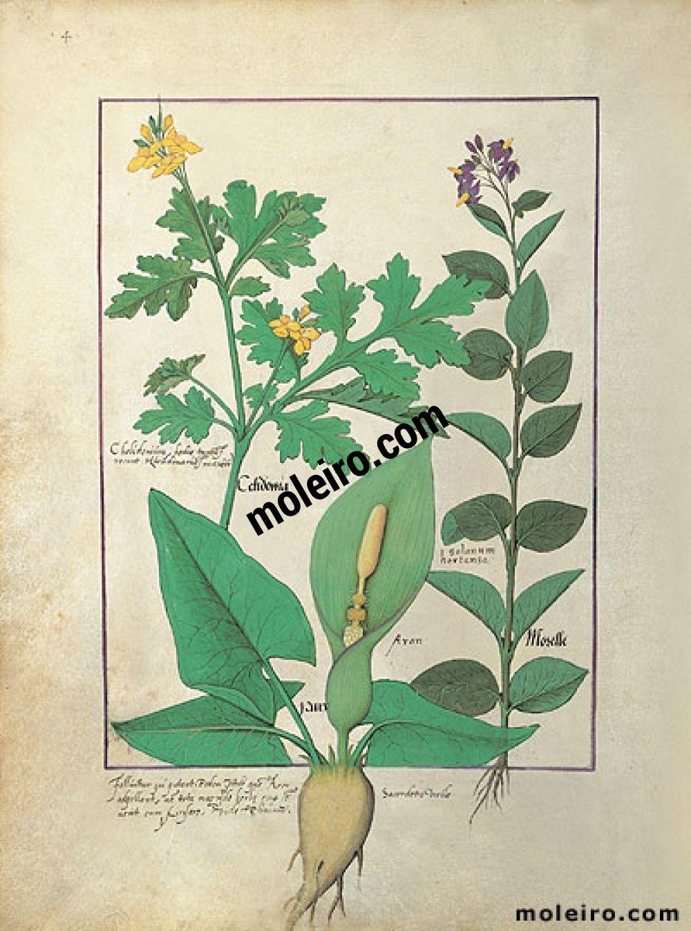 Libro delle Medicine Semplici folio 113v