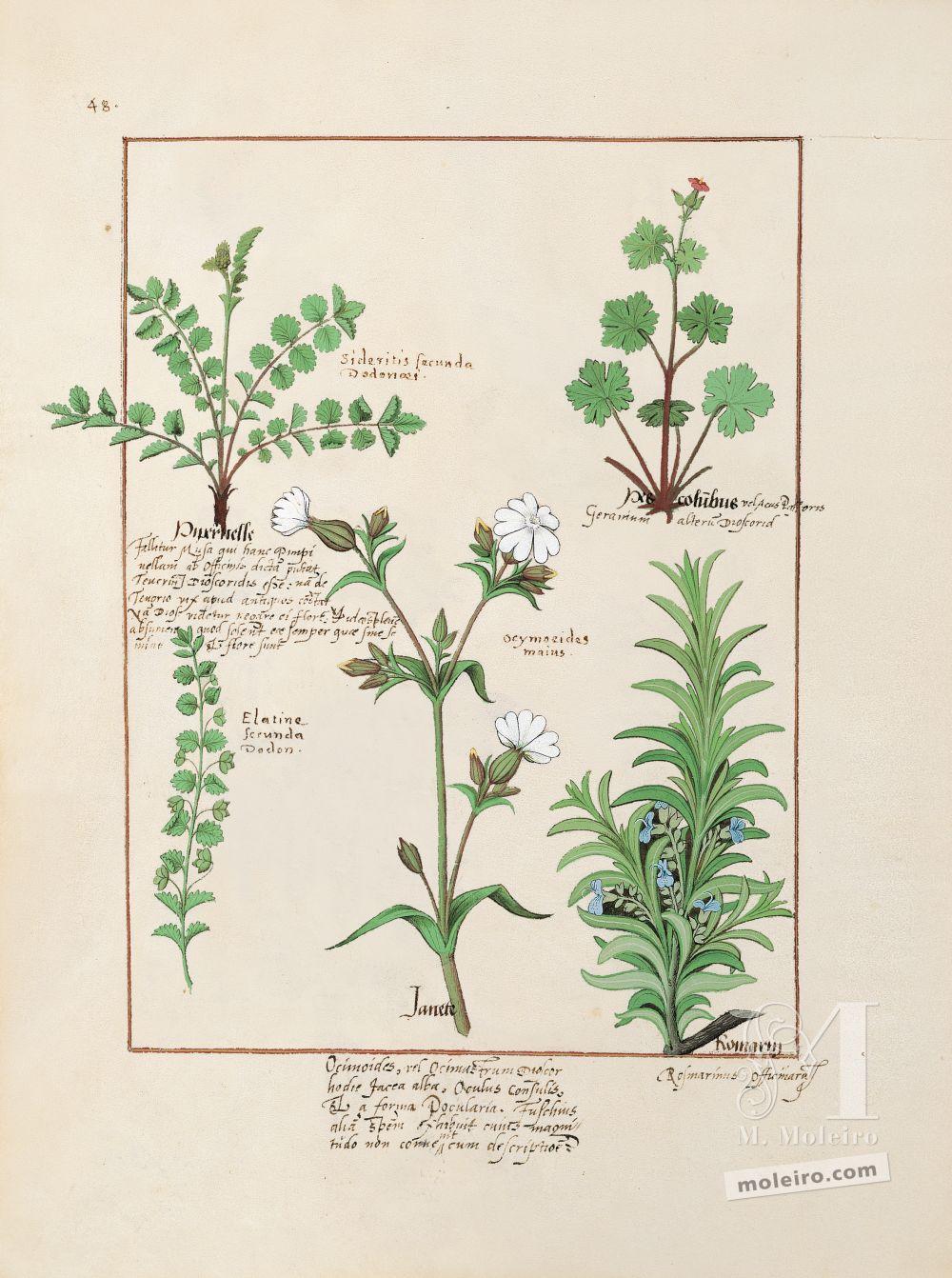 Pasta com 5 fólios do Livro dos Medicamentos Simples (s. XV)   Fólio 135v, Pé-de-pomba, Pimpinela maior, Alecrim