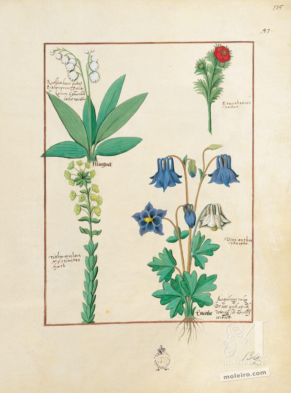 Carpeta 5 folios del Libro de los Medicamentos Simples (s. XV)  Folio 135r, Lechuga silvestre, Aguileña, Lirio del Valle