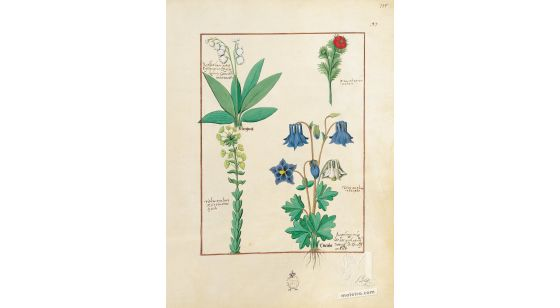 Folder of 5 folios from the Book of Simple Medicines (15th C)     Folio 135r, Wild lettuce, Columbine, Lily of the valley