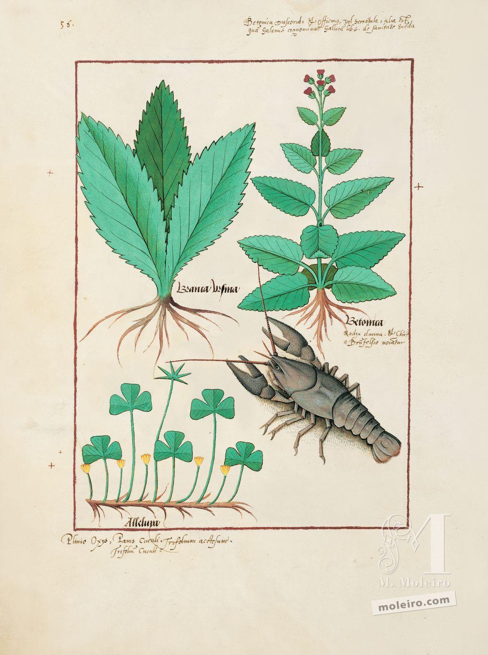 Pasta com 5 fólios do Livro dos Medicamentos Simples (s. XV)   Fólio 139v, Acanto, Betónica, Aleluia
