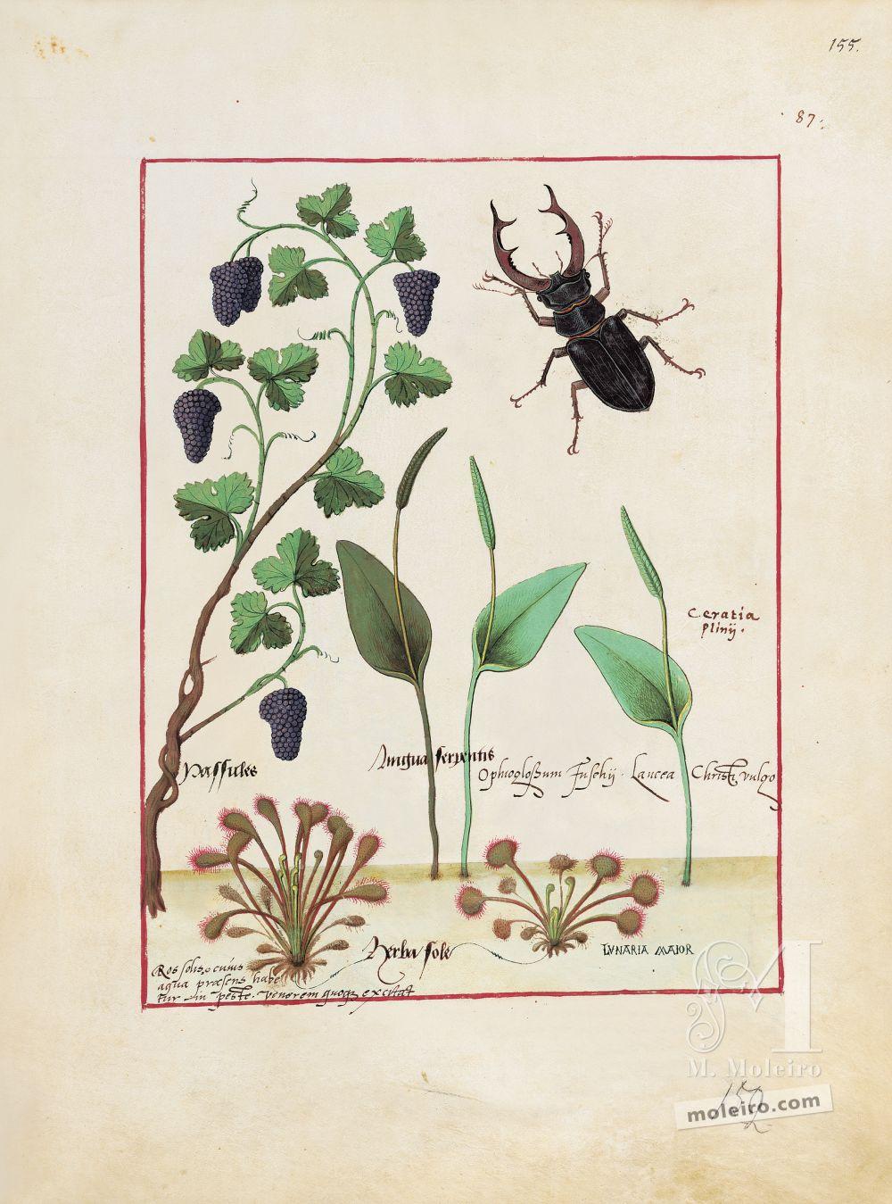 Pasta com 5 fólios do Livro dos Medicamentos Simples (s. XV)   Fólio 155r, Passas (Passules)