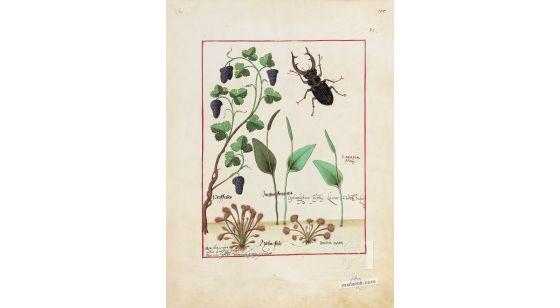 Carpeta con 5 folios del Libro de los Medicamentos Simples (s. XV)  Folio 155r, Pasas (Passules)