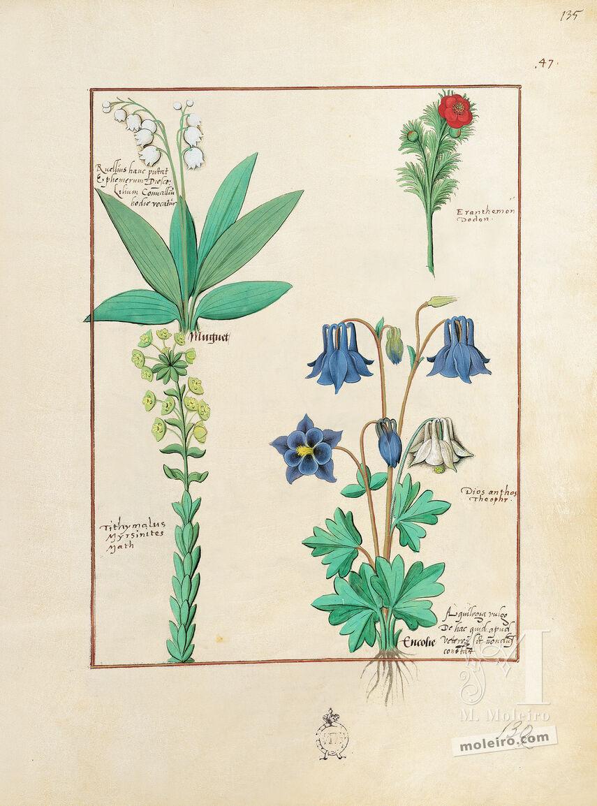 Carpeta con 5 folios del Libro de los Medicamentos Simples (s. XV)  5 láminas casi-originales