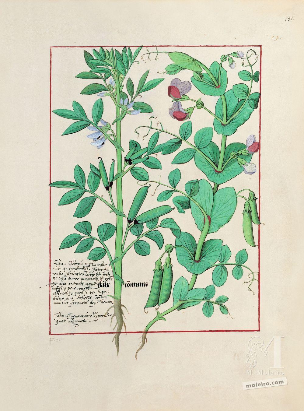 Carpeta 5 folios del Libro de los Medicamentos Simples (s. XV)  Folio 151r, Habas, Guisante