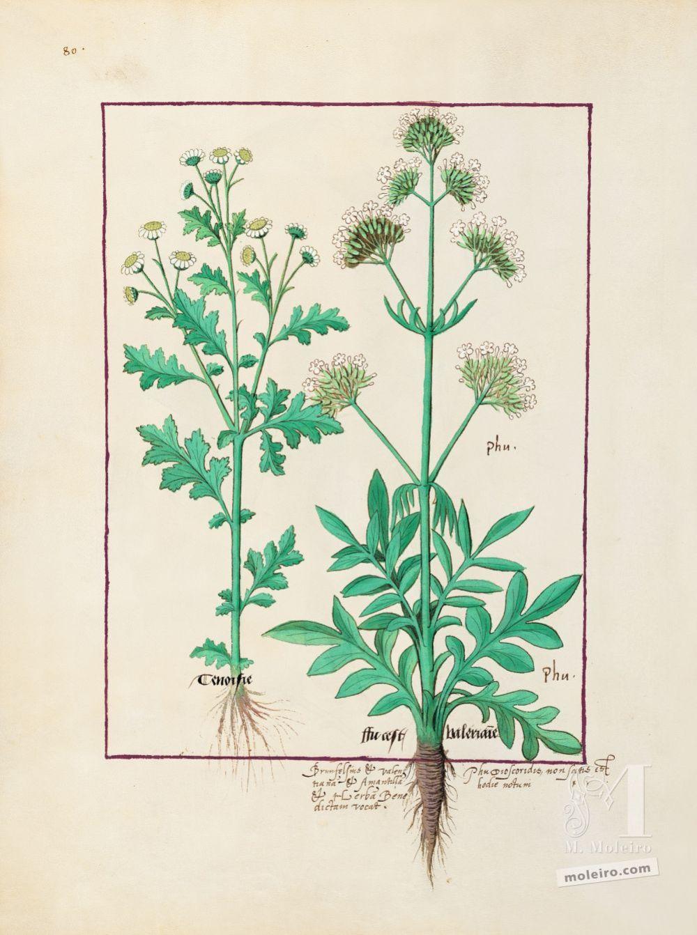 Carpeta 5 folios del Libro de los Medicamentos Simples (s. XV)  Folio 151v, Valeriana (Phu, Fu, Valerianne)